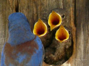 Sialia_mexicana_-adult_feeding_chicks_in_a_nestbox-8