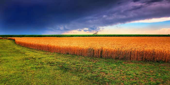 Kansas_Summer_Wheat_and_Storm_Panorama