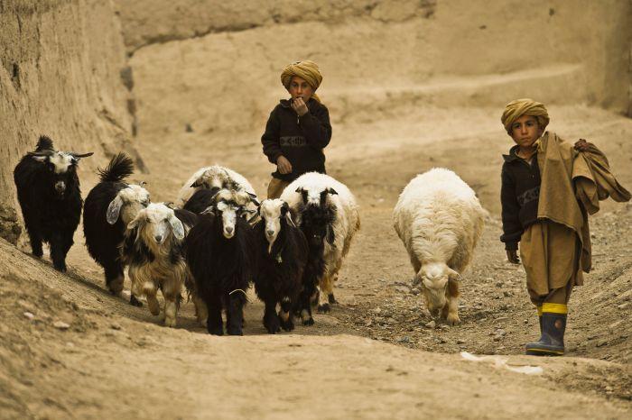 Afghan_herder_boys